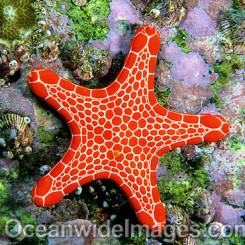 Biscuit Star (Pentagonaster duebeni). Also known as Biscuit Starfish. Solitary Islands, New South Wales, Australia
