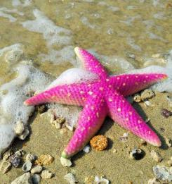 Pink-starfish-on-the-beach